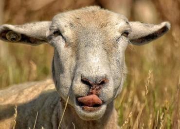 frolo-pastuh-ovci-korovy