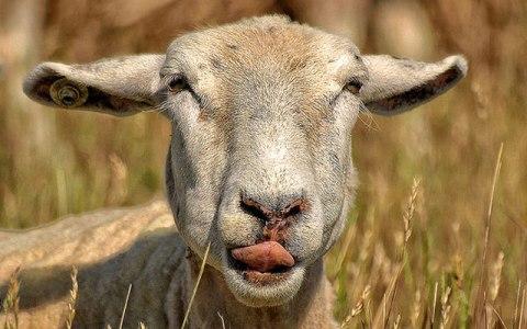 Почти 60 овец украдено под Волжским