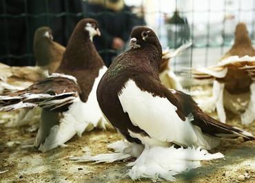 volgzkiy-vistavochnie-golubi